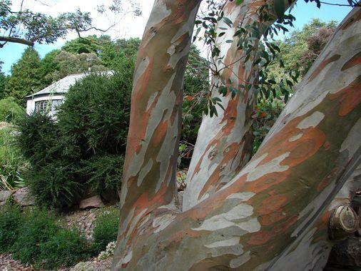 schottischer baum eucalyptus pauciflora baumkunde. Black Bedroom Furniture Sets. Home Design Ideas